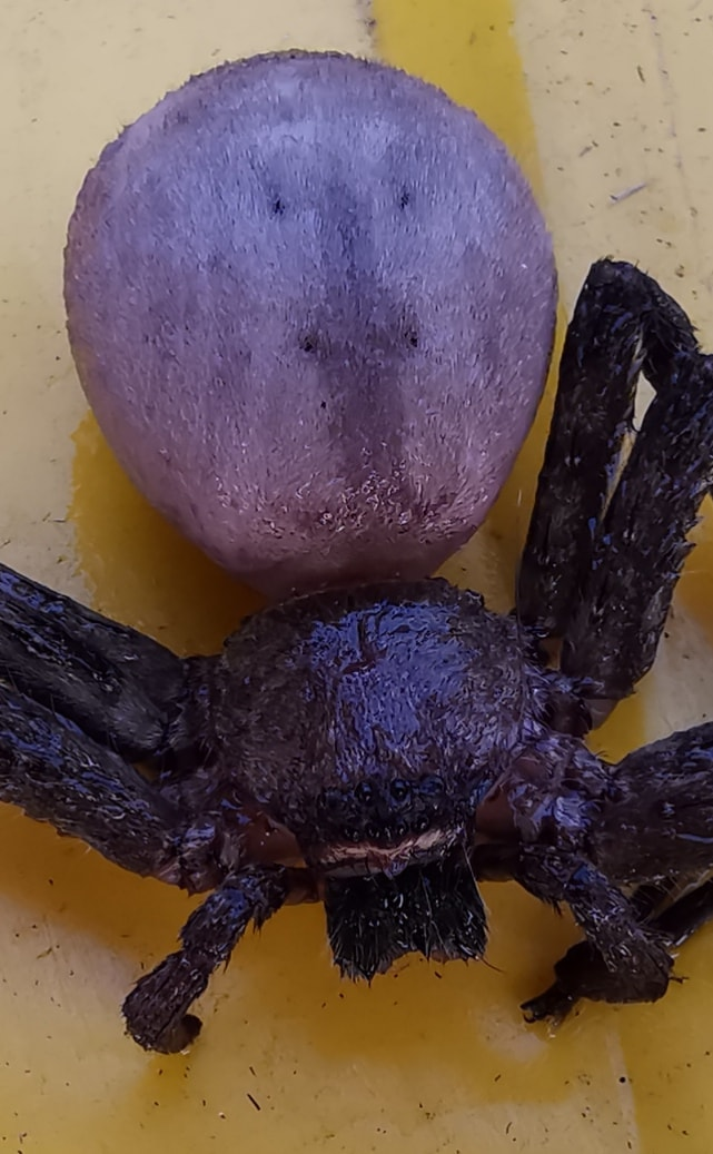 Picture of Heteropoda - Dorsal,Eyes