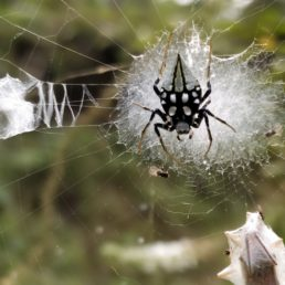 Featured spider picture of Neogea nocticolor
