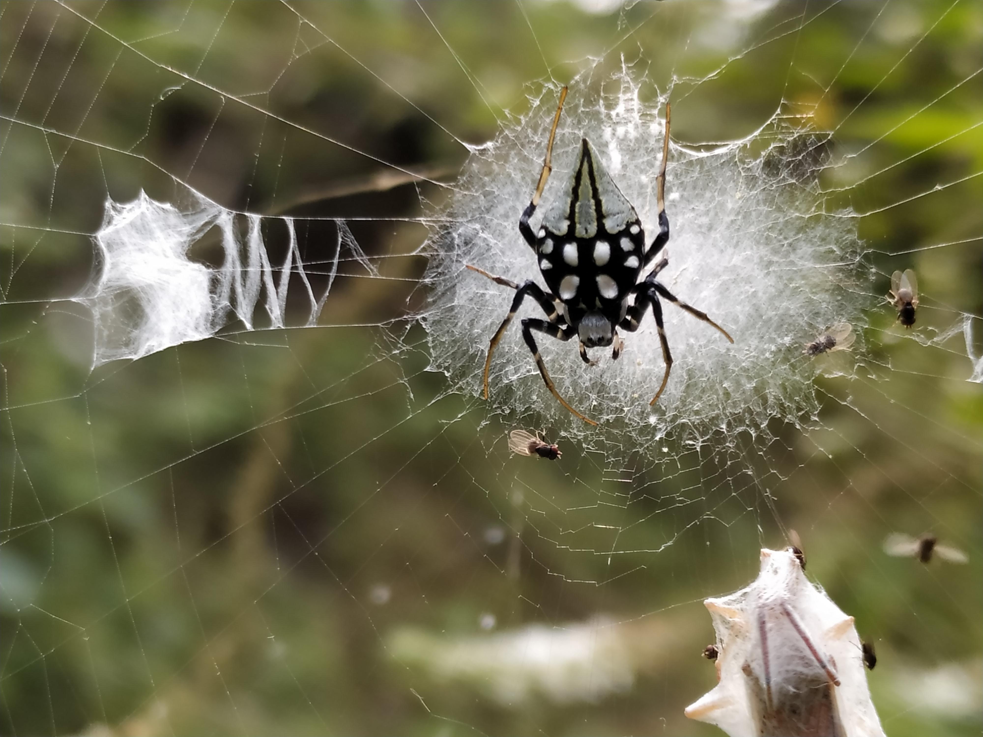 Picture of Neogea nocticolor - Dorsal,Webs,Prey