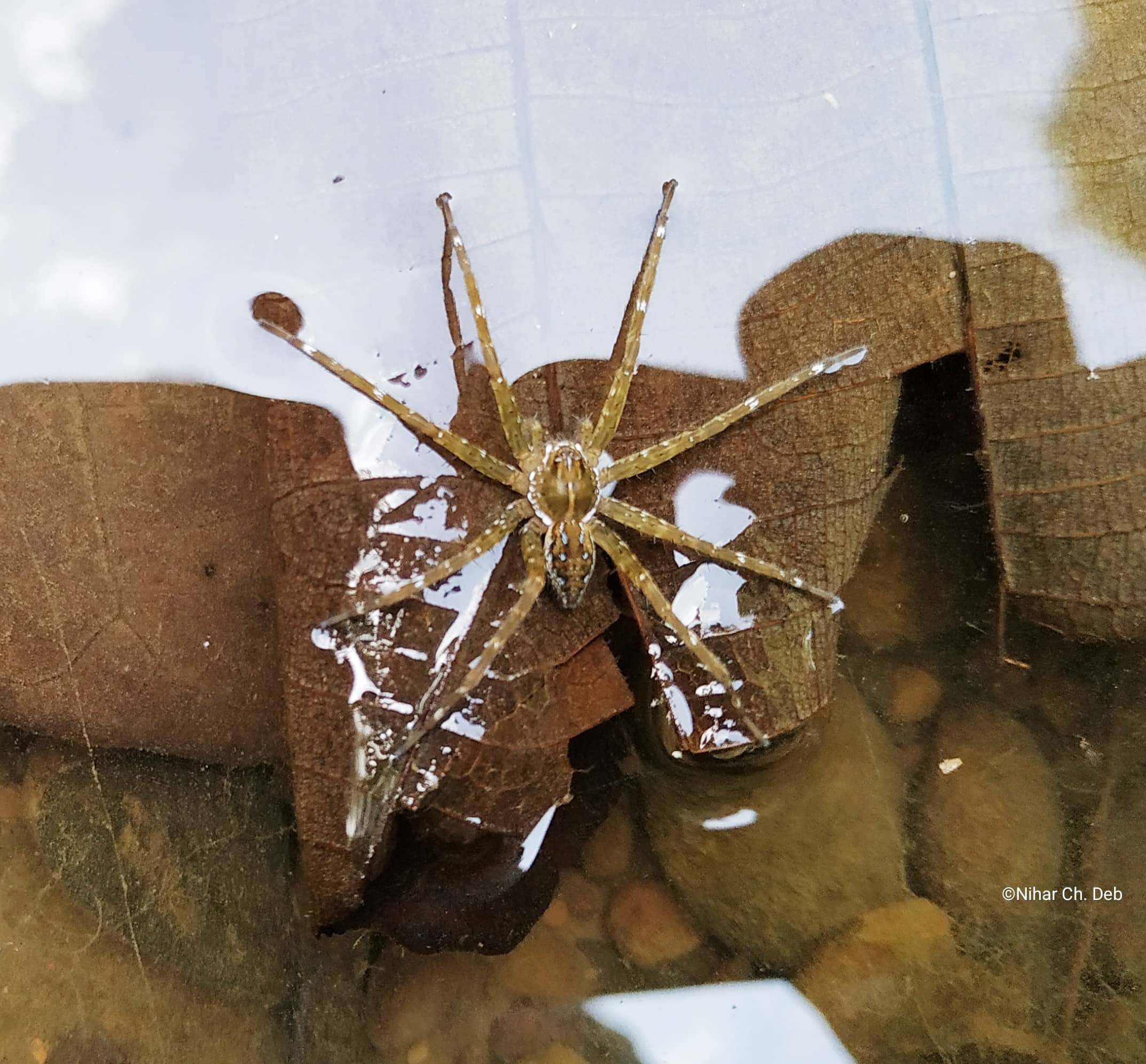 Picture of Pisauridae (Nursery Web Spiders) - Dorsal