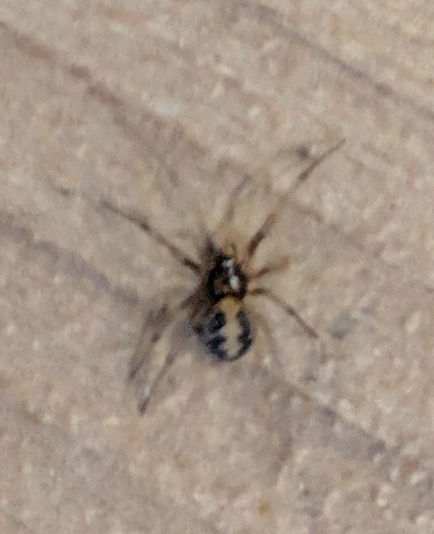 Picture of Steatoda triangulosa (Triangulate Cobweb Spider)