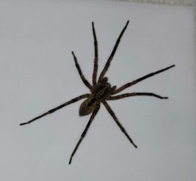 Picture of Zoropsis spp. - Dorsal
