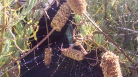 Picture of Argiope keyserlingi (St Andrew's Cross Spider) - Dorsal,Webs
