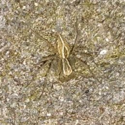 Featured spider picture of Oxyopes salticus (Striped Lynx Spider)