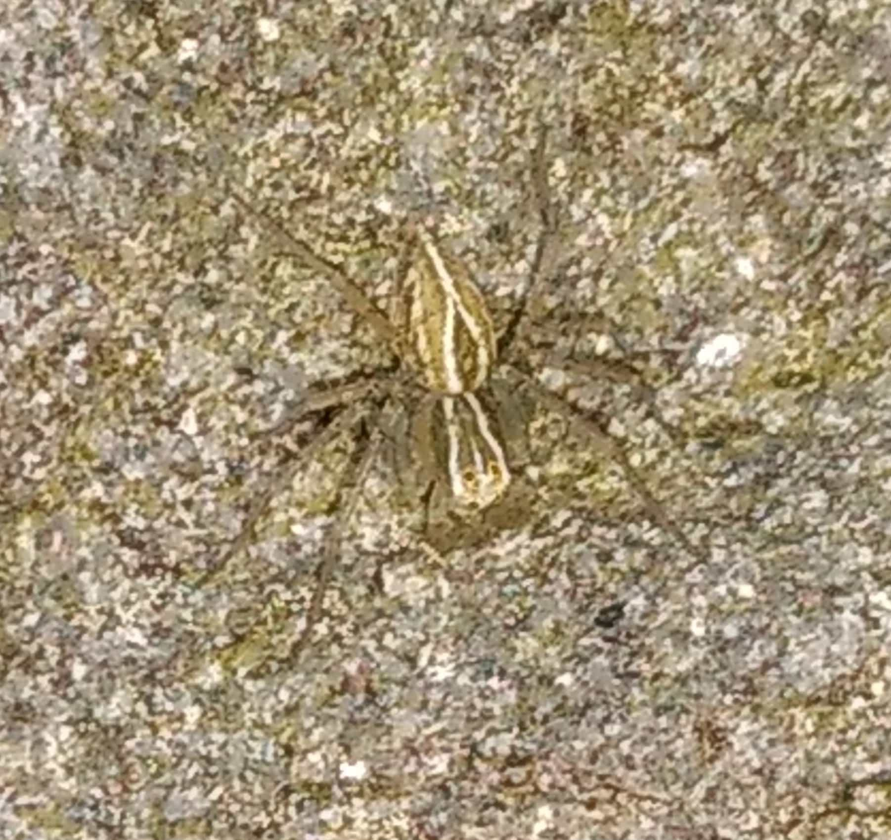 Picture of Oxyopes salticus (Striped Lynx Spider) - Dorsal