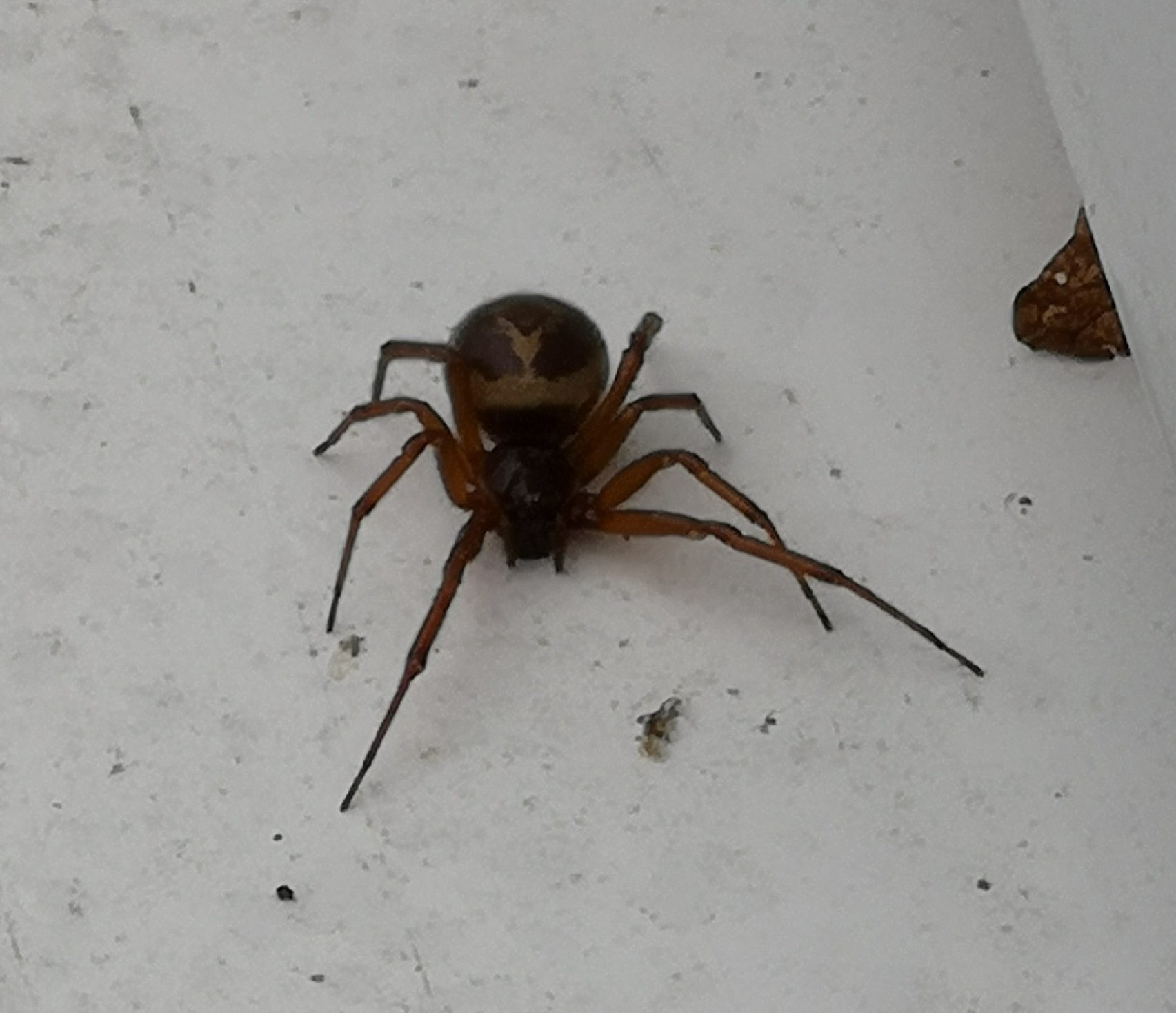 Picture of Steatoda nobilis (Noble False Widow)