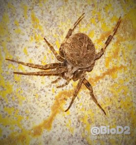 Picture of Neoscona nautica (Brown Sailor Spider) - Dorsal