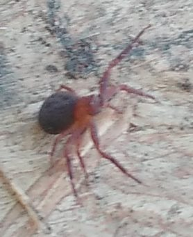 Picture of Xysticus spp. (Ground Crab Spiders) - Lateral
