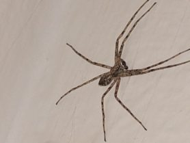 Picture of Philodromidae (Running Crab Spiders) - Male - Dorsal