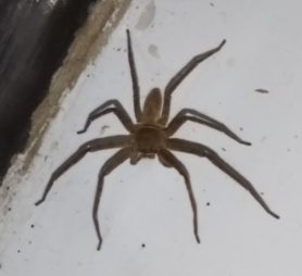 Picture of Heteropoda spp. - Dorsal