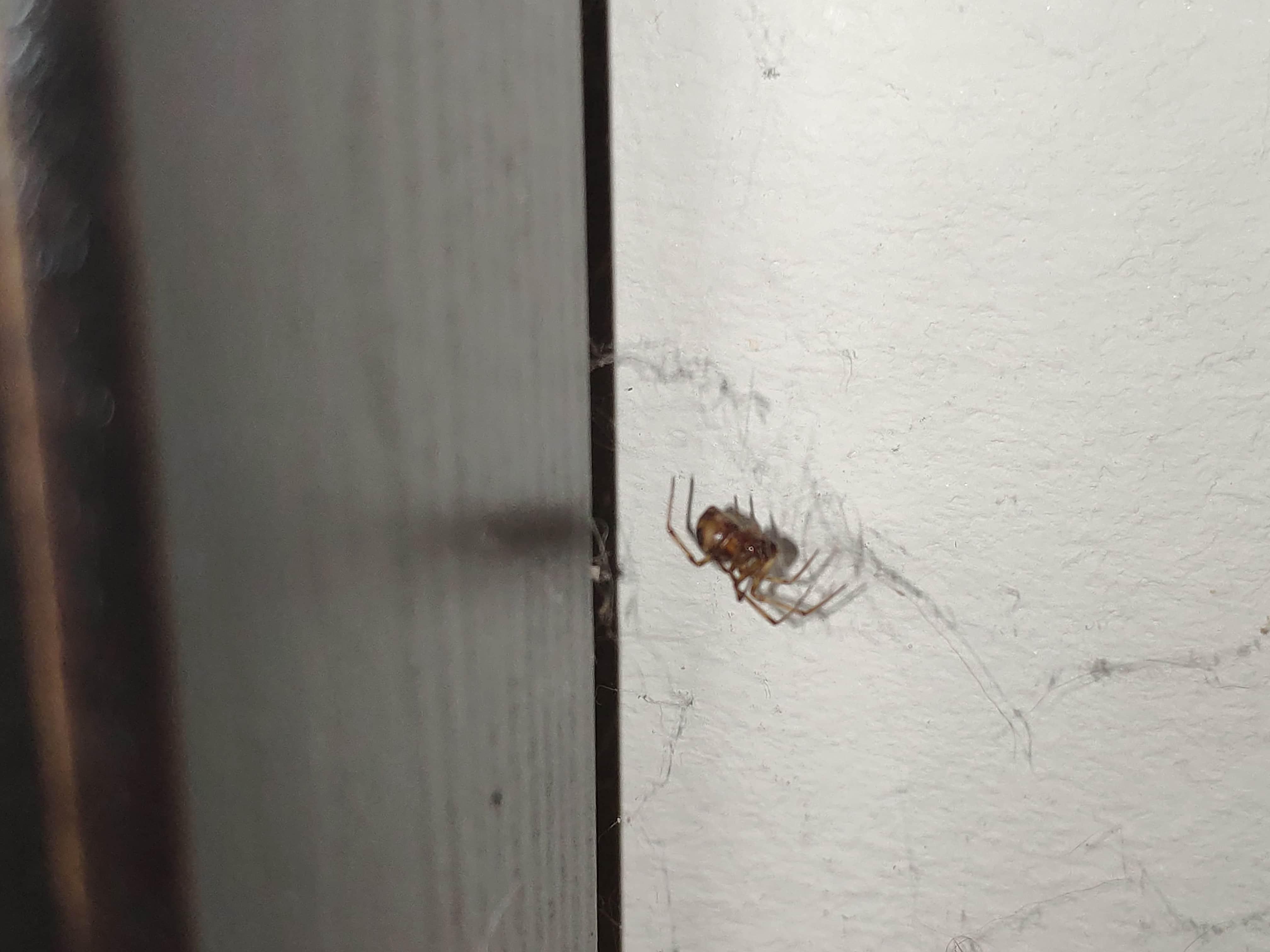 Picture of Steatoda triangulosa (Triangulate Cobweb Spider) - Lateral,Webs