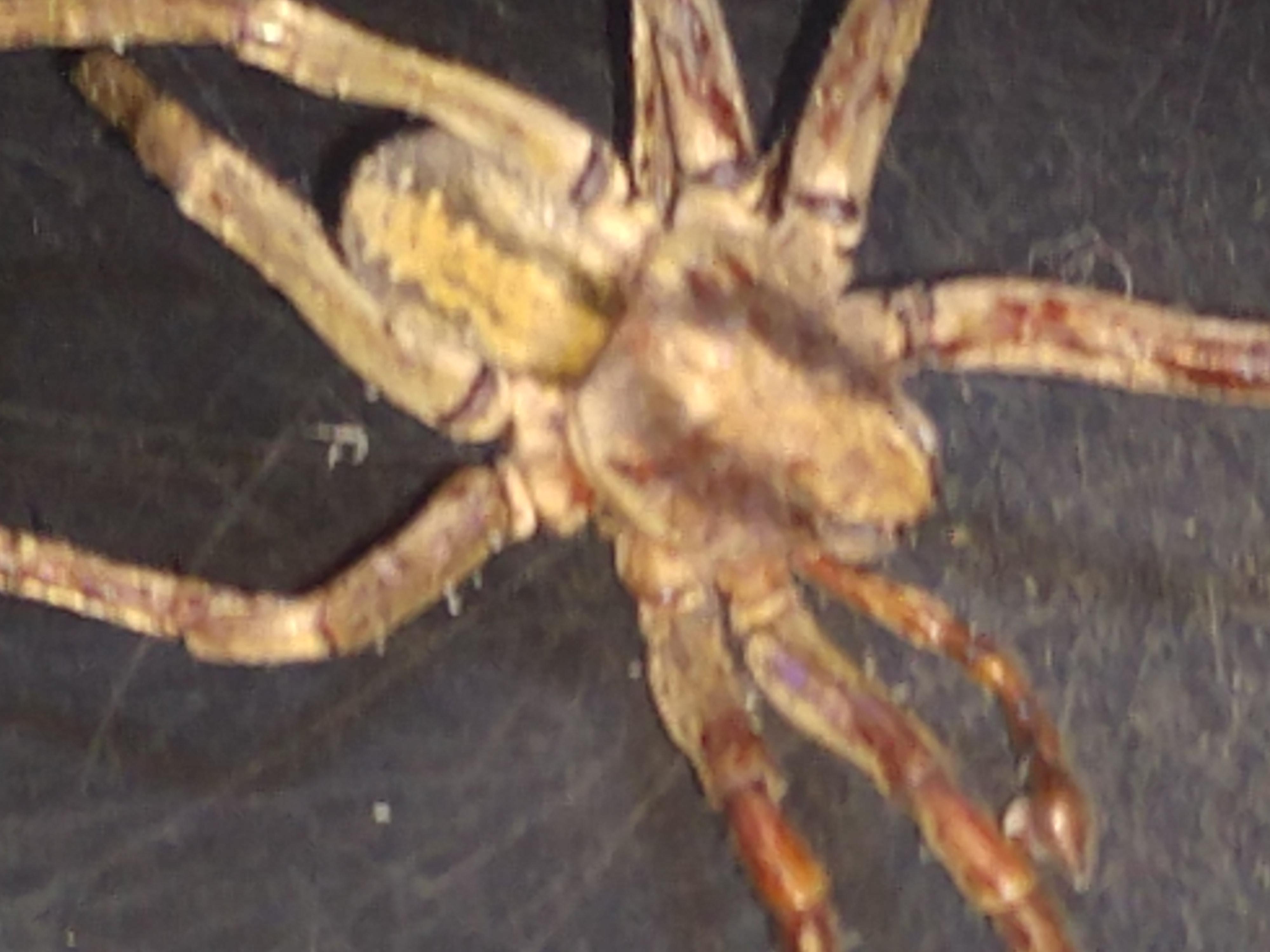 Picture of Ctenus hibernalis - Male - Dorsal