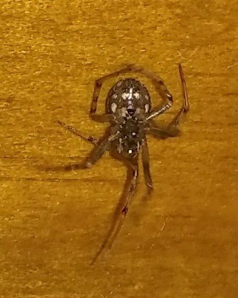 Picture of Steatoda triangulosa (Triangulate Cobweb Spider) - Ventral