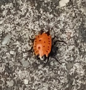 Picture of Gasteracantha cancriformis (Spiny-backed Orb-weaver) - Dorsal