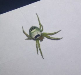 Picture of Araneus mitificus (Kidney Garden Spider) - Dorsal