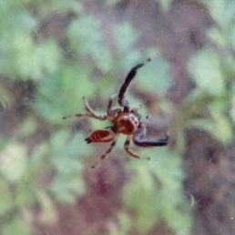 Featured spider picture of Thyene imperialis