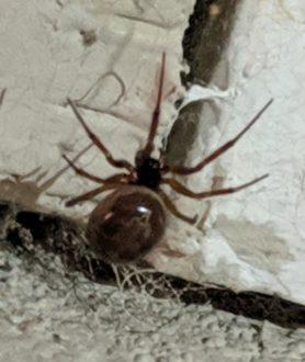Picture of Steatoda nobilis (Noble False Widow) - Dorsal