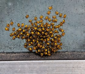 Picture of Araneus spp. (Angulate & Round-shouldered Orb-weavers) - Spiderlings