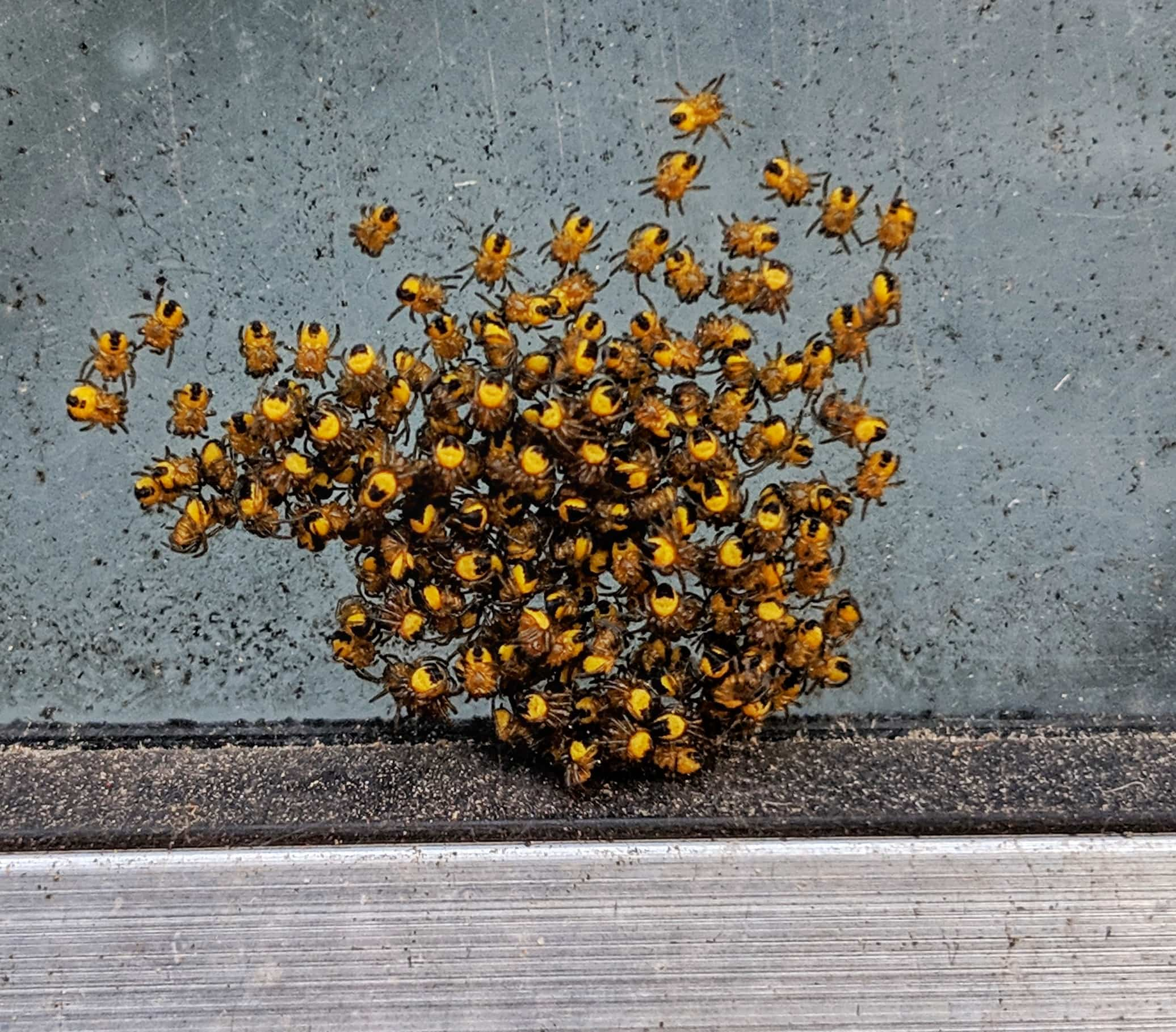 Picture of Araneus (Angulate & Round-shouldered Orb-weavers) - Spiderlings