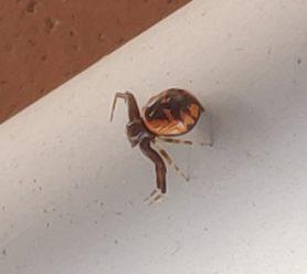 Picture of Synema globossum (Napoleon Spider) - Dorsal