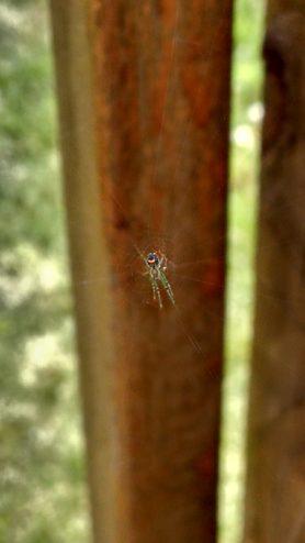 Picture of Leucauge venusta (Orchard Orb-weaver) - Ventral,Webs