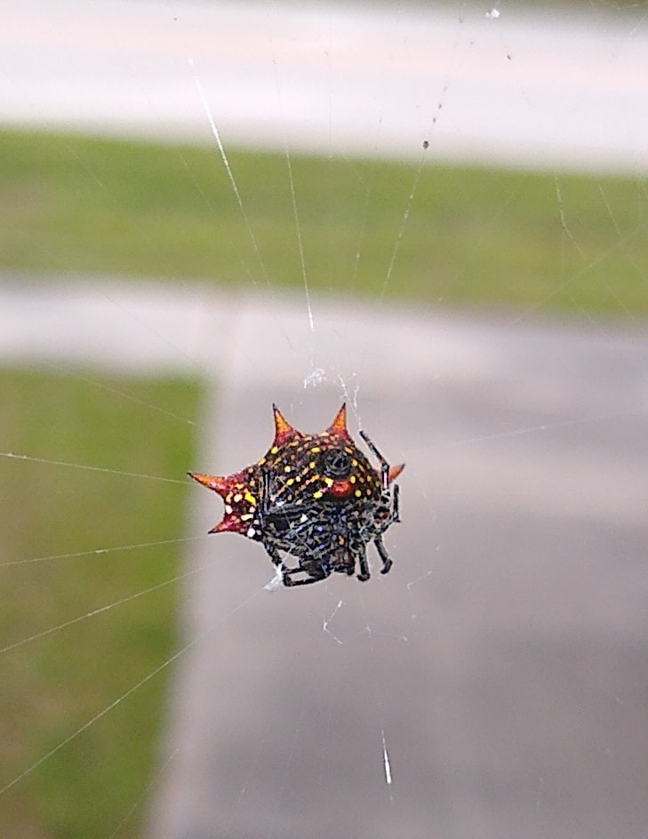 Picture of Gasteracantha cancriformis (Spiny-backed Orb-weaver) - Ventral
