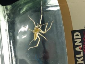 Picture of Cheiracanthium mildei (Long-legged Sac Spider) - Male - Ventral