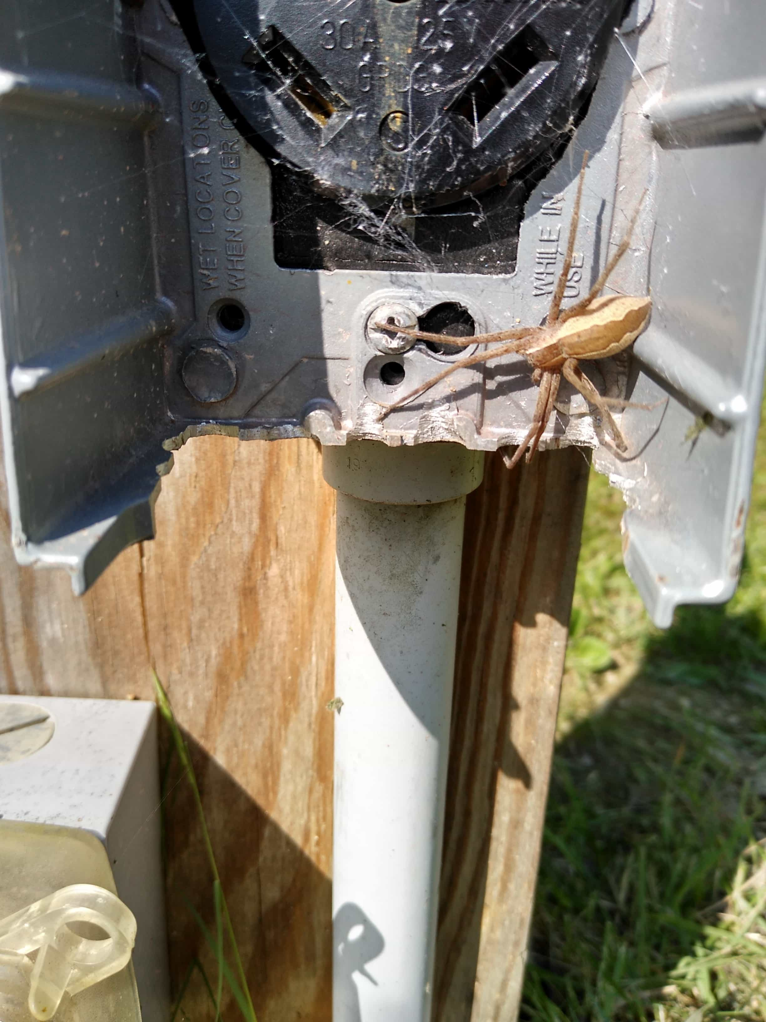 Picture of Pisaurina mira (Nursery Web Spider) - Female - Dorsal