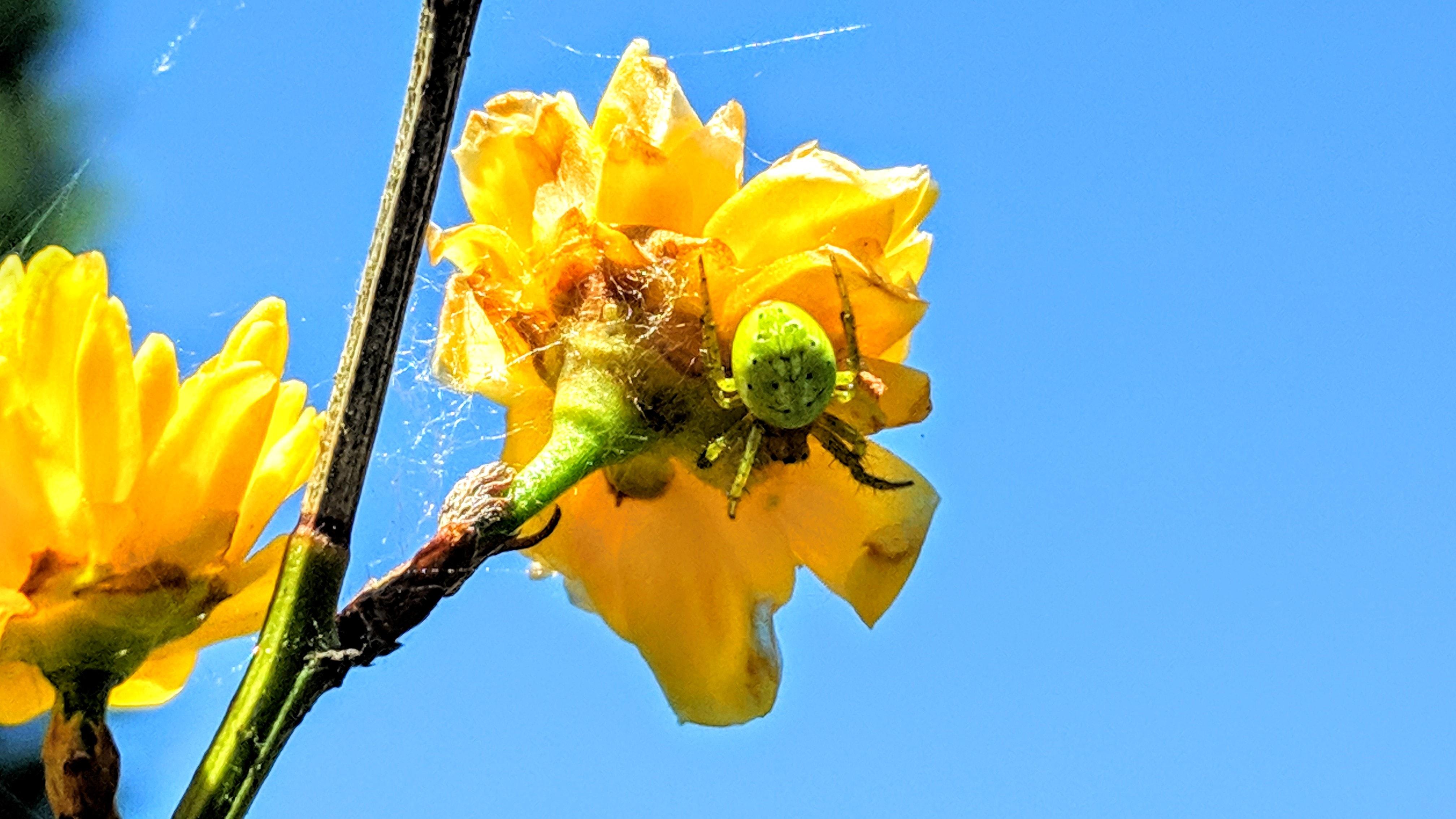 Picture of Araniella - Dorsal,Webs