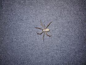 Picture of Argiope lobata (Lobed Argiope) - Dorsal