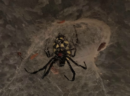 Picture of Nephilingis cruentata (African Hermit Spider) - Ventral,Webs