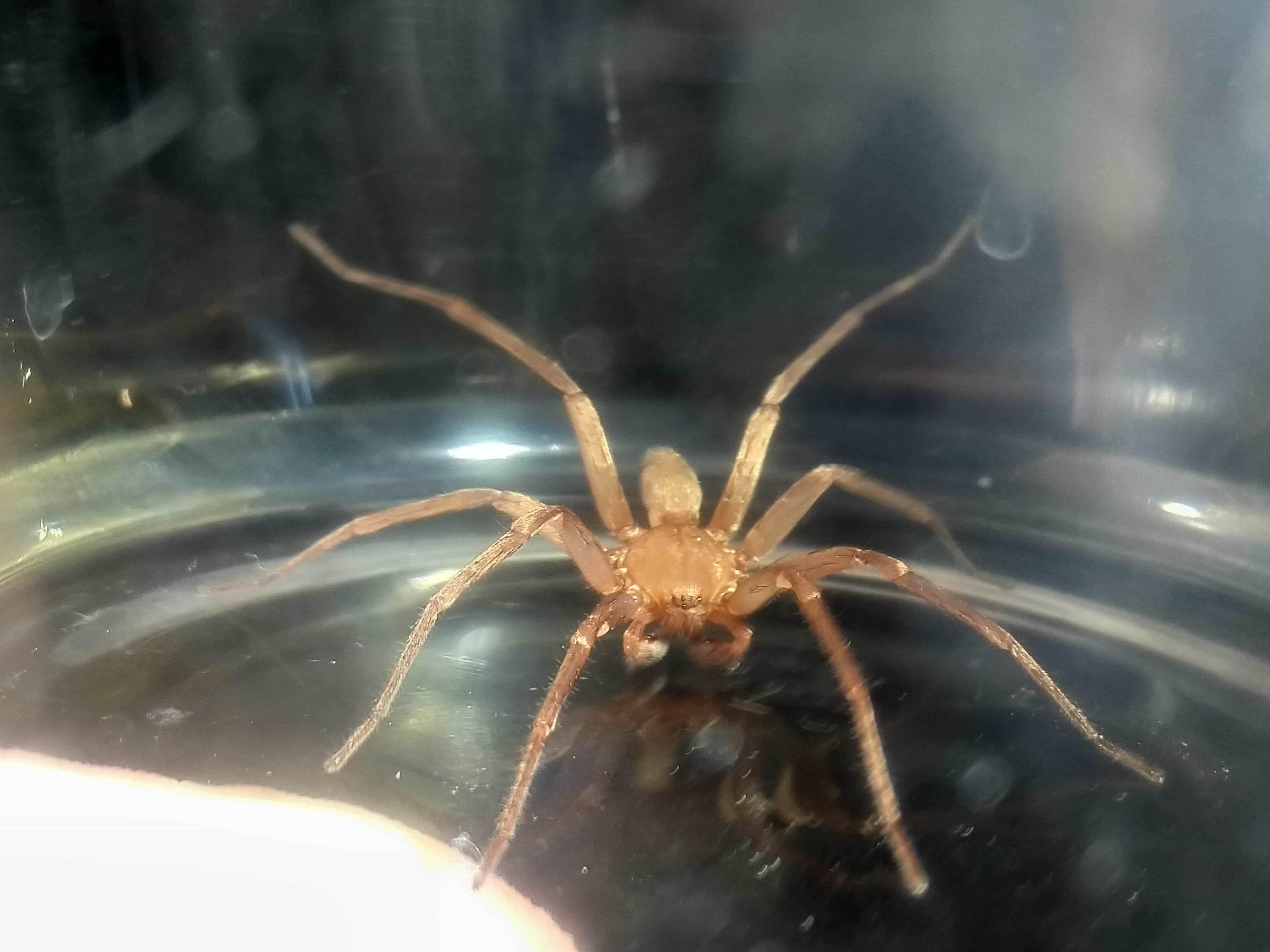 Picture of Zoropsidae (False Wolf Spiders) - Male - Dorsal,Eyes