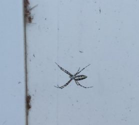 Picture of Argiope aurantia (Black and Yellow Garden Spider) - Lateral