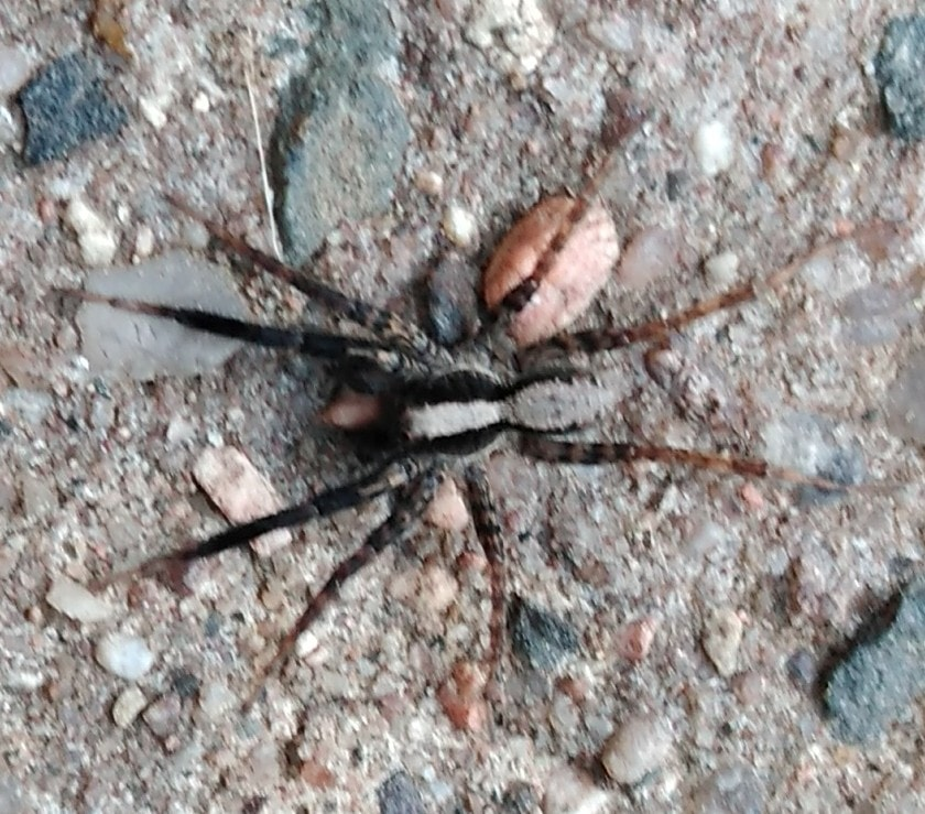 Picture of Schizocosa (Lanceolate Wolf Spiders) - Male - Dorsal