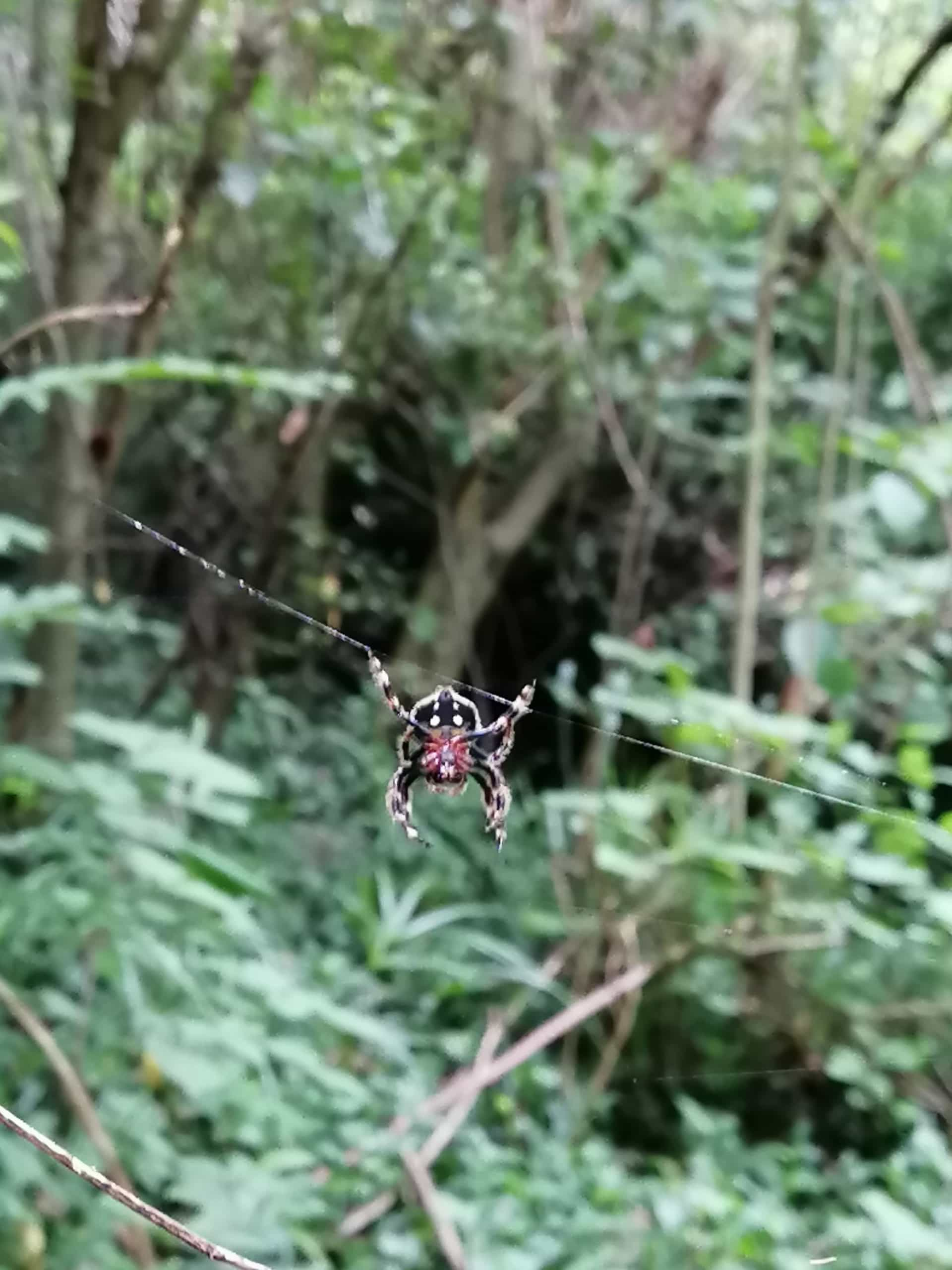 Picture of Caerostris (Bark Spiders) - Ventral,Webs
