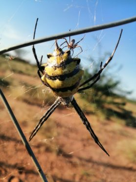 Picture of Argiope australis - Male,Female - Dorsal,Webs