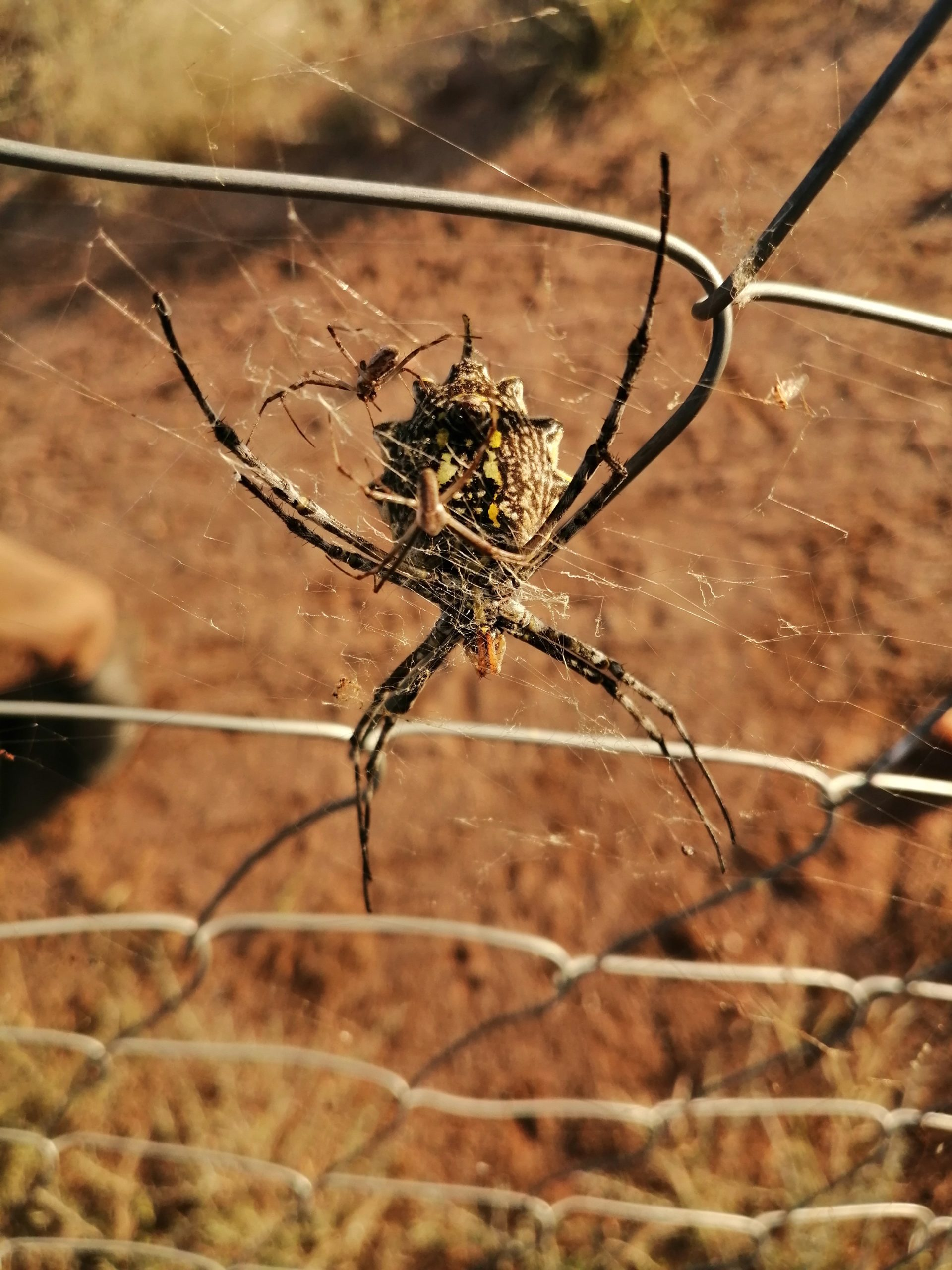 Picture of Argiope australis - Male,Female - Ventral,Webs