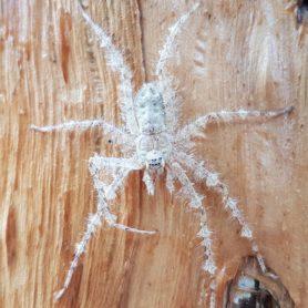 Picture of Pandercetes gracilis (Australian Lichen Spider) - Dorsal