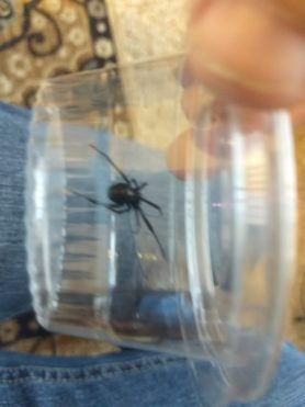 Picture of Latrodectus mactans (Southern Black Widow) - Dorsal