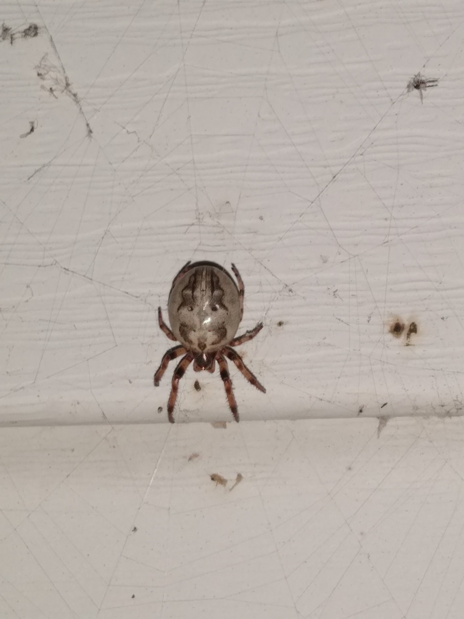 Picture of Larinioides cornutus (Furrow Orb-weaver) - Dorsal,Webs