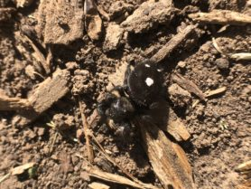 Picture of Phidippus audax (Bold Jumper) - Female - Dorsal,Gravid