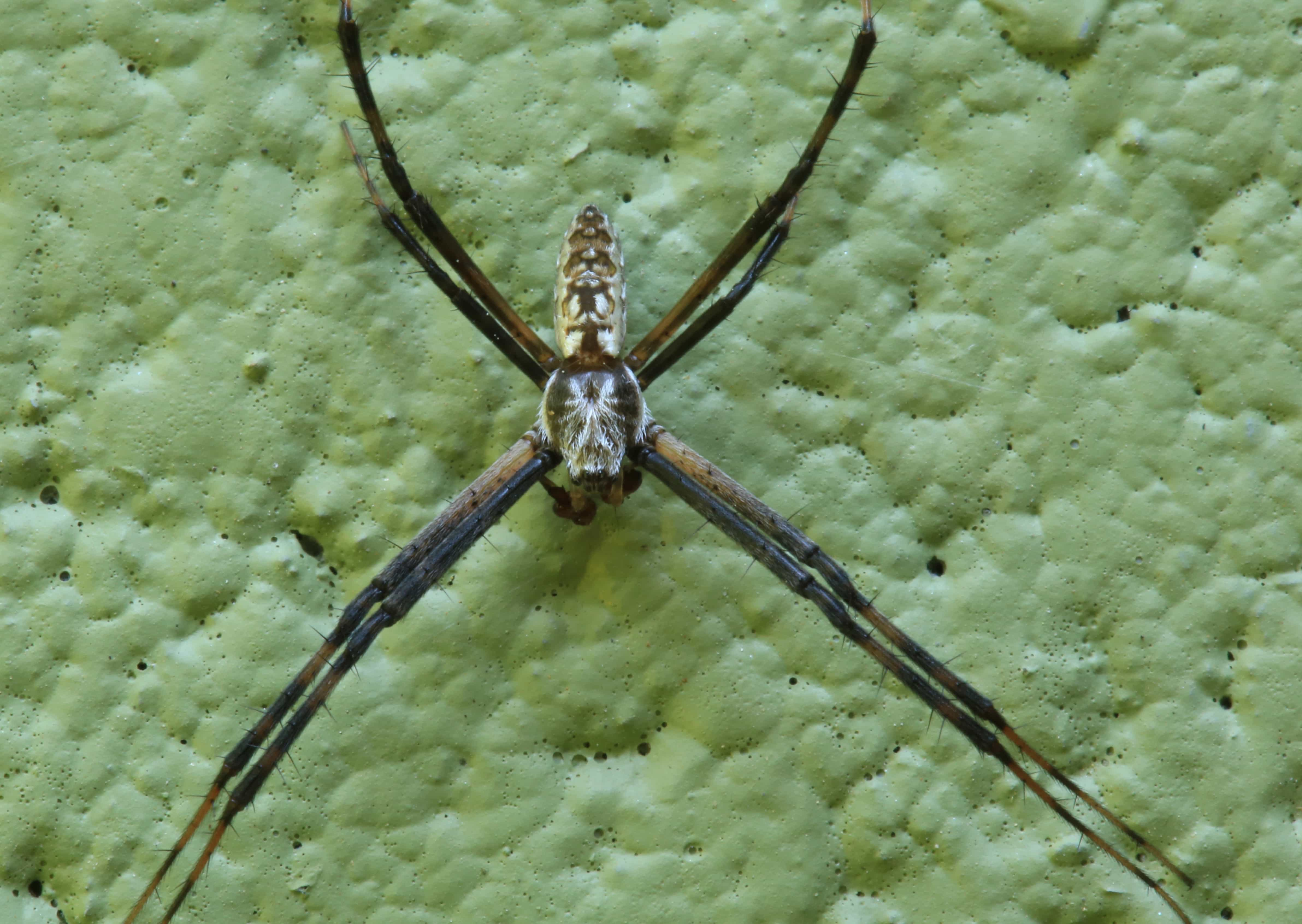 Picture of Argiope aurantia (Black and Yellow Garden Spider) - Male - Dorsal