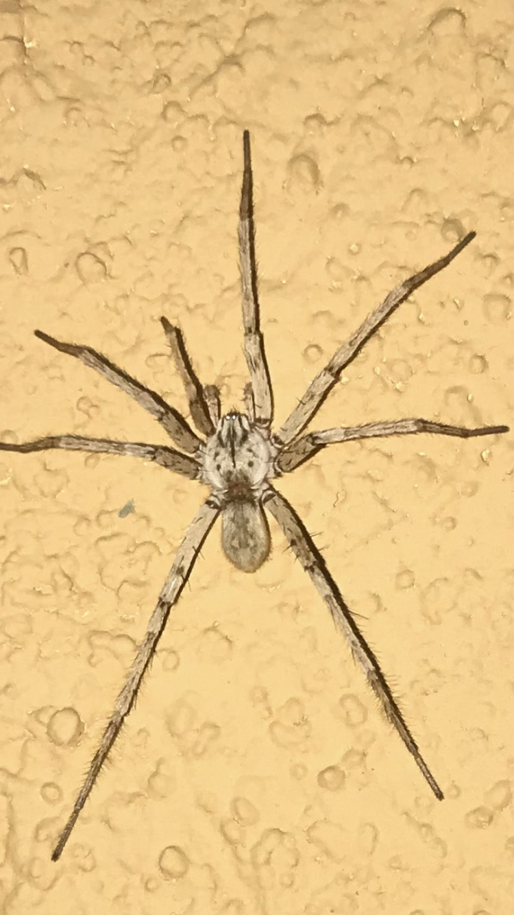 Picture of Syspira - Dorsal