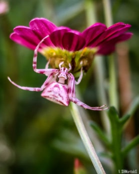 Picture of Thomisus onustus (Pink Crab Spider) - Dorsal