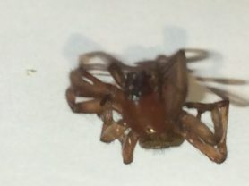 Picture of Gnaphosidae (Stealthy Ground Spiders) - Eyes