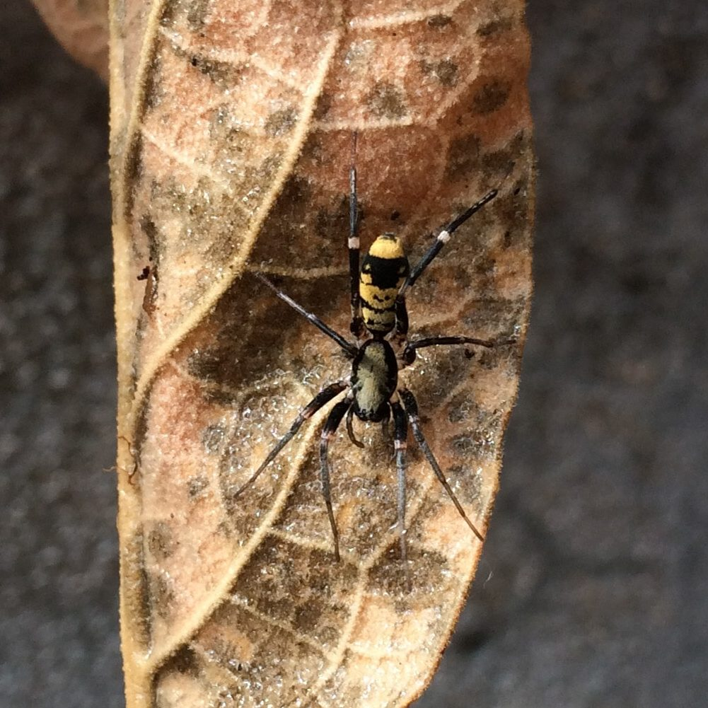 Picture of Corinnidae (Ant-mimic Spiders) - Dorsal