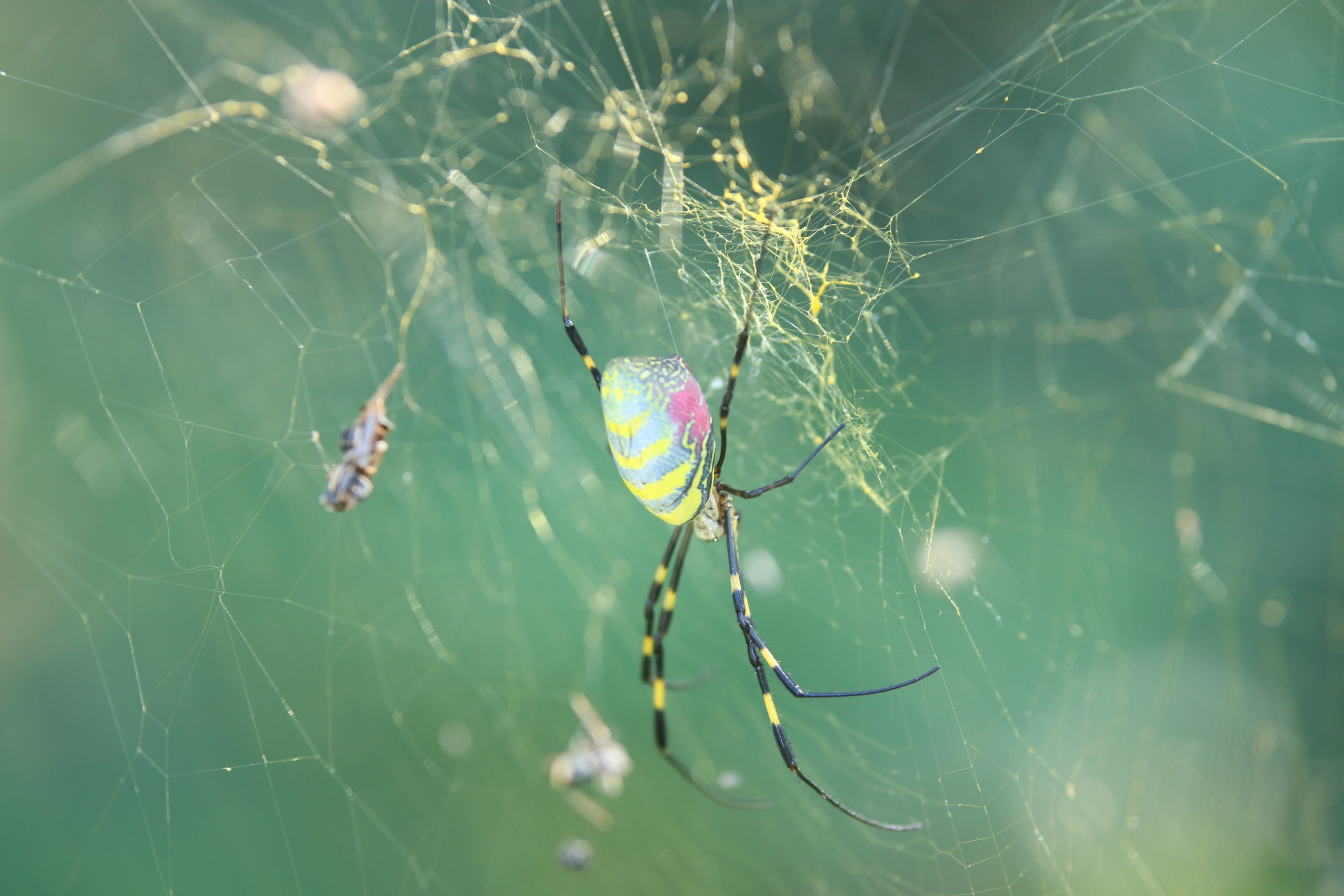 Picture of Nephila clavata (Joro spider) - Lateral,Webs