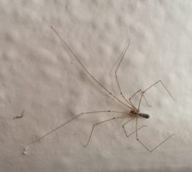 Picture of Pholcus phalangioides (Long-bodied Cellar Spider) - Male - Dorsal