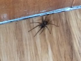 Picture of Eratigena atrica (Giant House Spider) - Dorsal