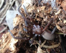 Picture of Kukulcania hibernalis (Southern House Spider) - Female - Lateral